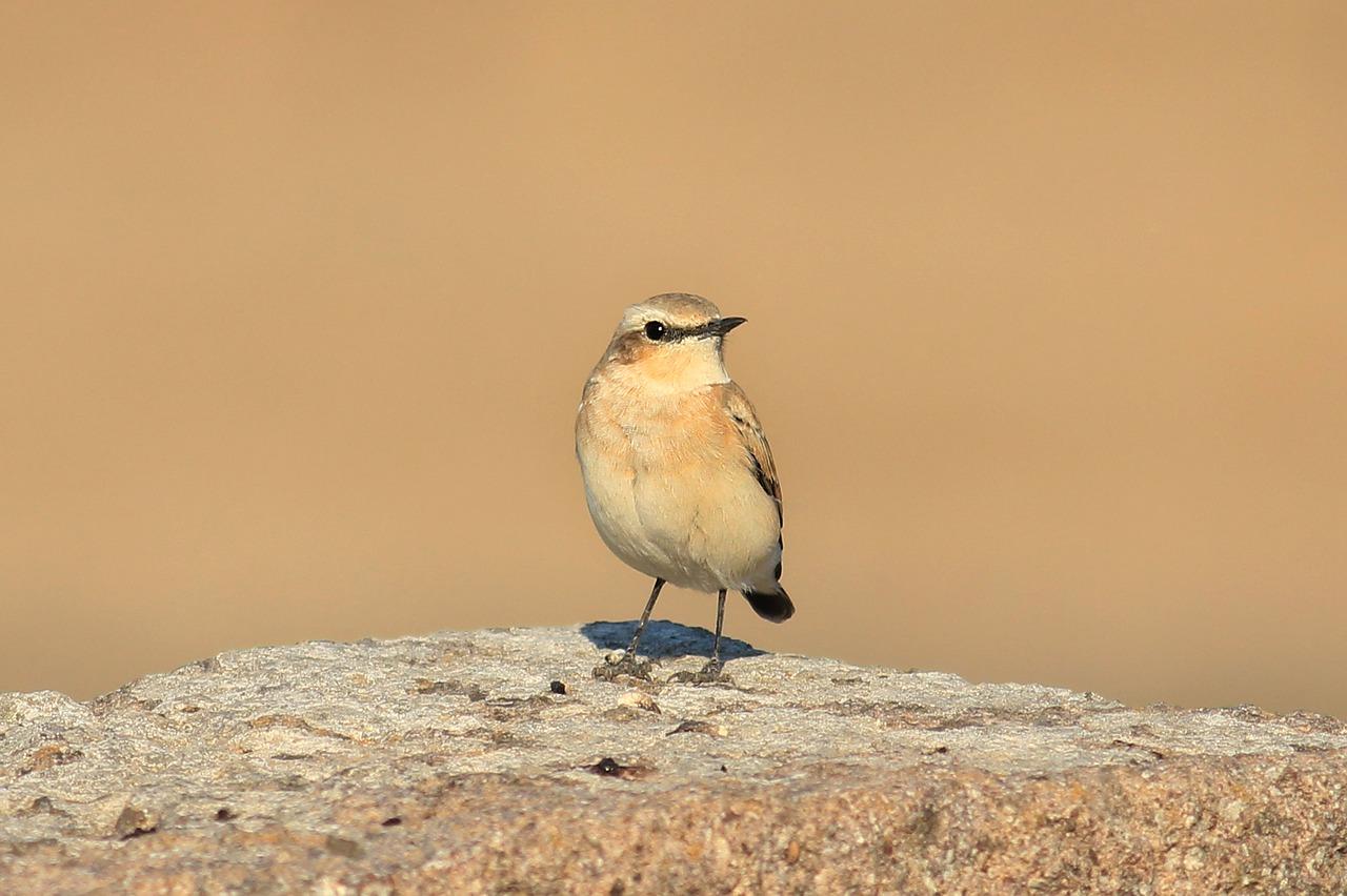Actividad familiar 'La Collalba Negra del Barranco de las Almunias' en SEO Birdlife (Zaragoza)