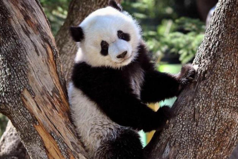 Vacaciones entre pandas y jirafas en el Zoo de Madrid en Zoo Aquarium de Madrid (Madrid)